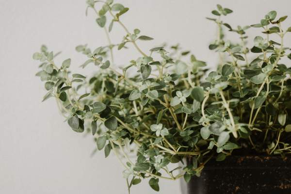 Growing and using your own herbs